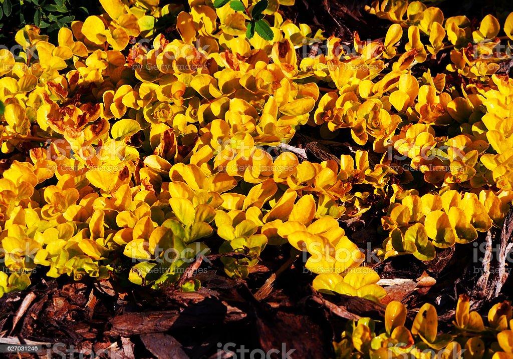 Lysimachia nummularia 'Aurea' stock photo