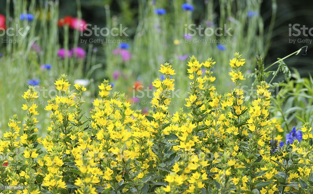 Lysimachia punctata flowers royalty-free stock photo