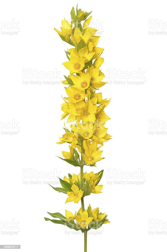 Lysimachia vulgaris flower stock photo
