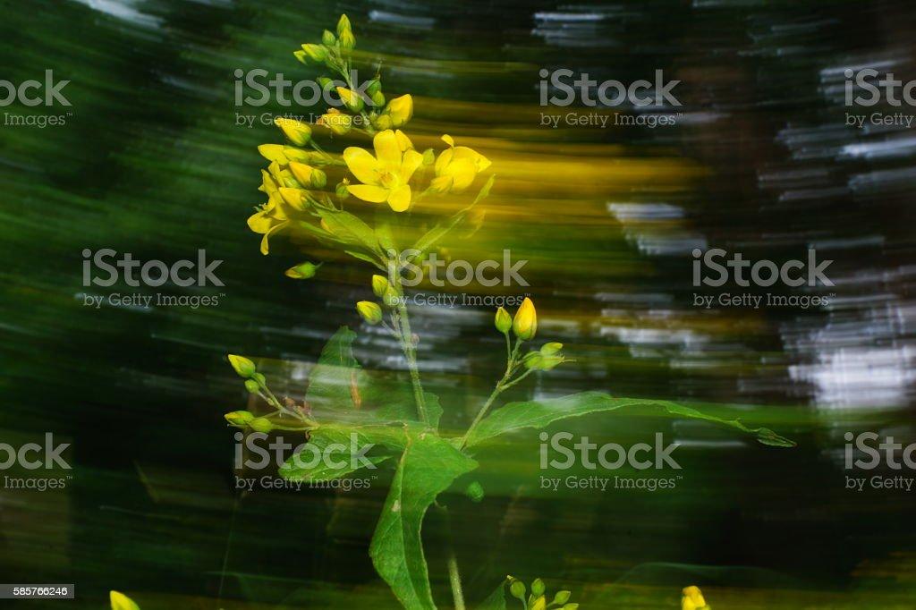 Lysimachia vulgaris stock photo