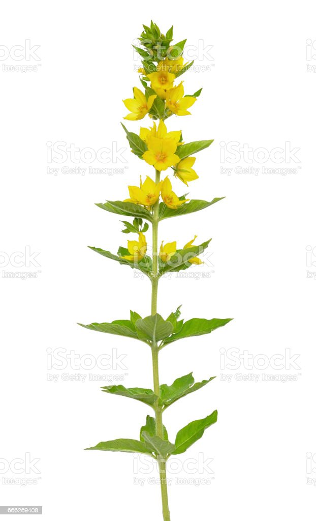 Lysimachia vulgaris, Yellow Loosestrife flower stock photo
