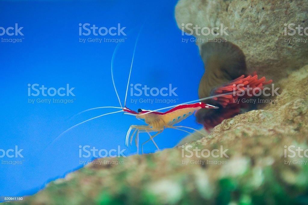 Lysmata amboinensis stock photo