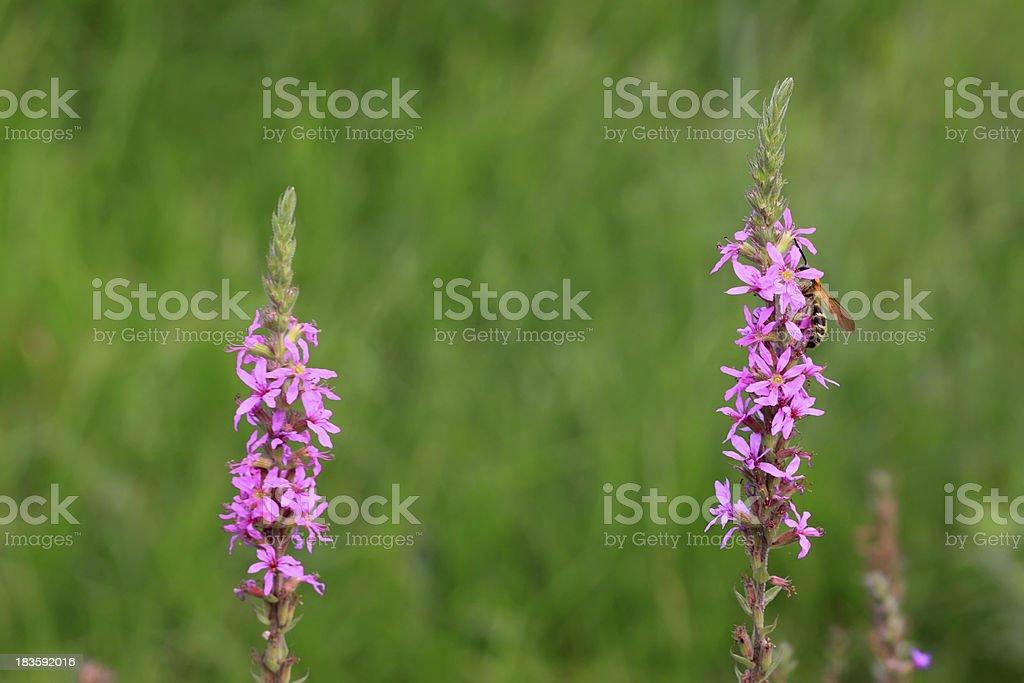 lythrum salicaria flowers royalty-free stock photo