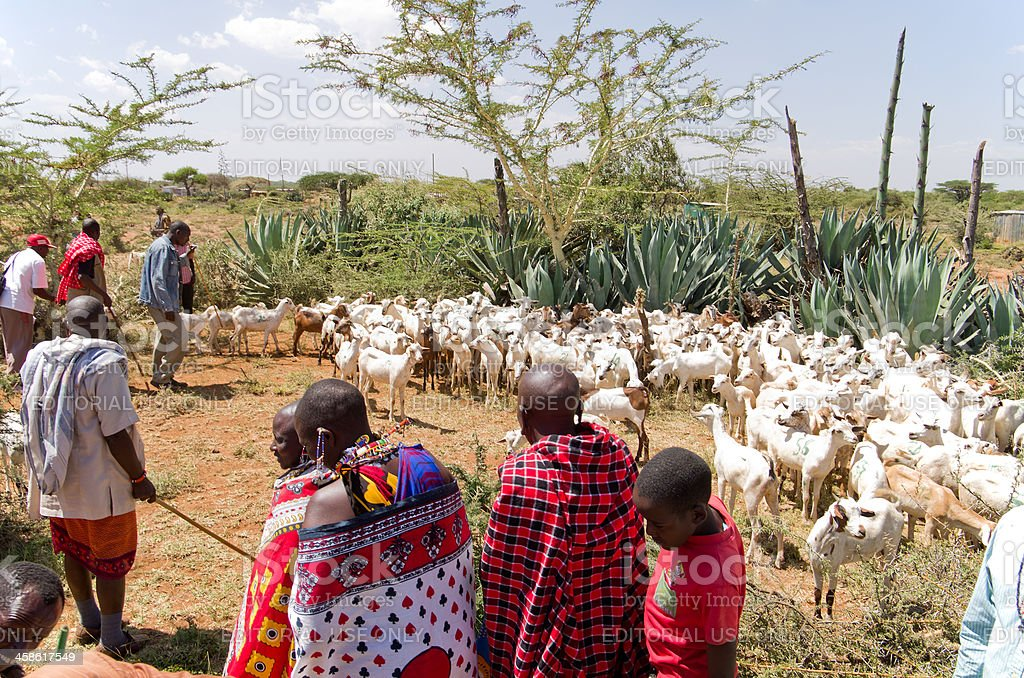 Maasai Goat Distribution in Africa stock photo