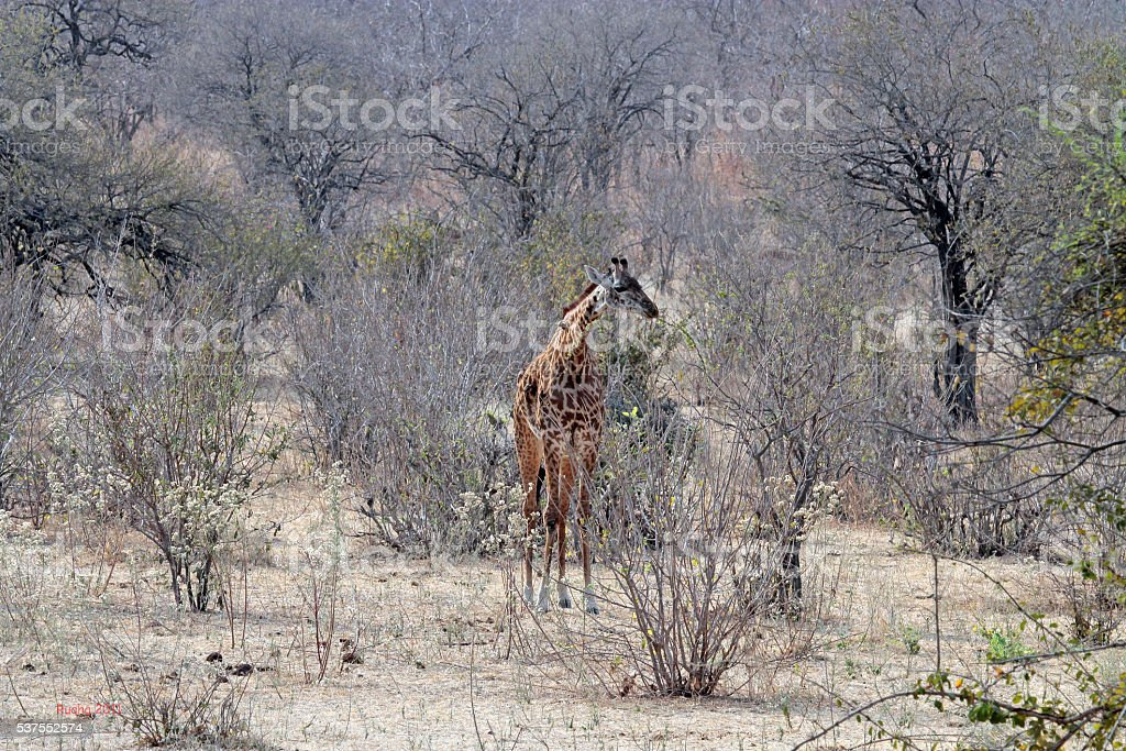 Maasai griaffe in thick bush stock photo