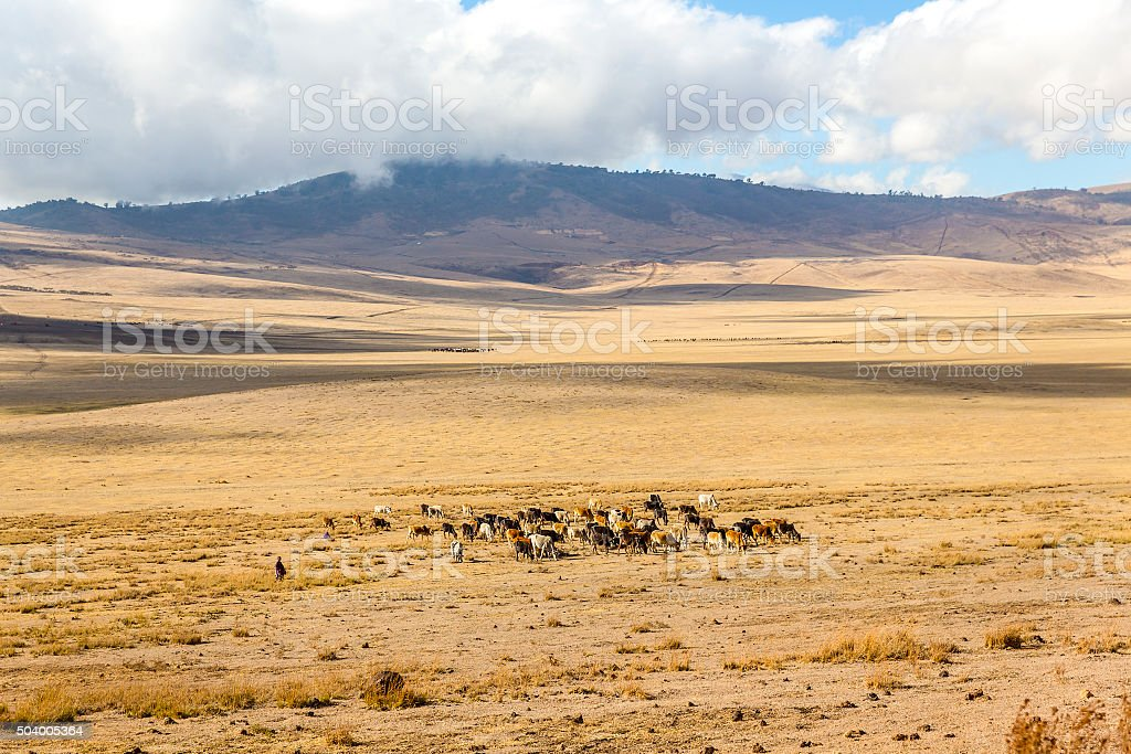 Maasai herding cattle in Ngorongoro stock photo
