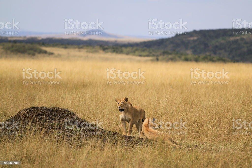 Maasai Lions stock photo