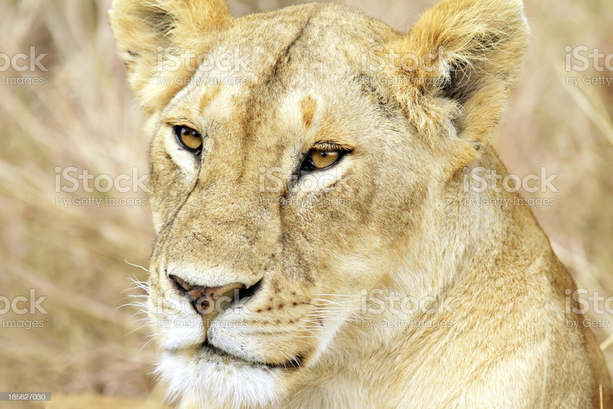 Maasai Mara Lion royalty-free stock photo