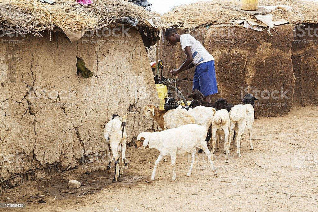 Maasai teenager with sheep. stock photo