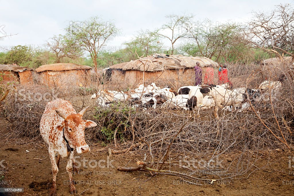 Maasai village with cattle stock photo