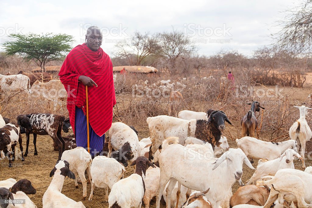 Maasai with his goats in the village, Kenya. stock photo
