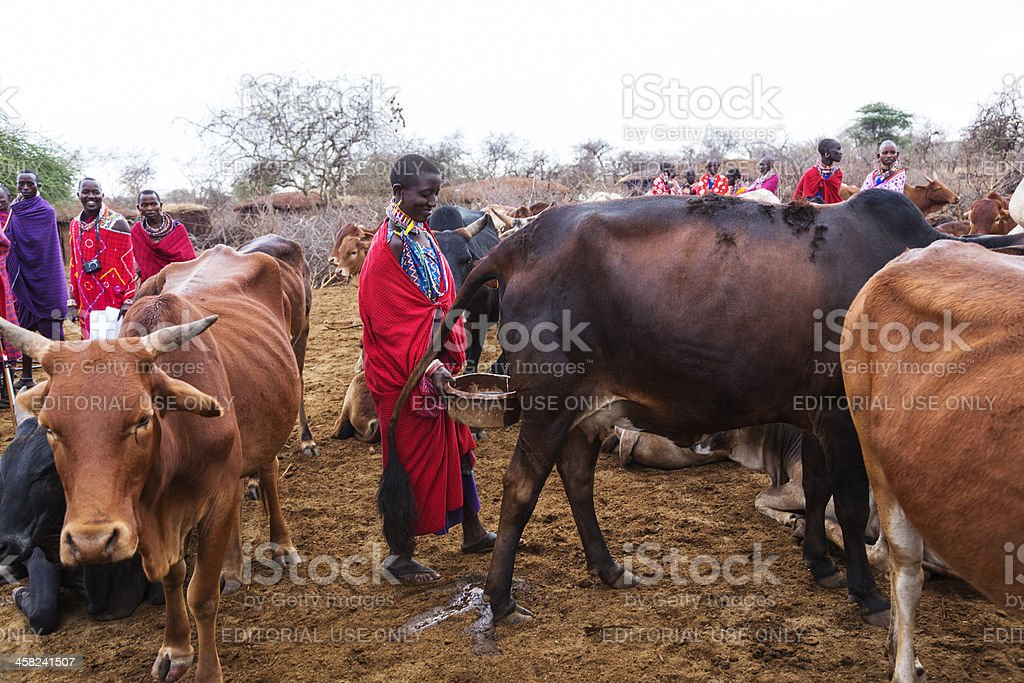 Maasai woman collecting urine from cow. stock photo