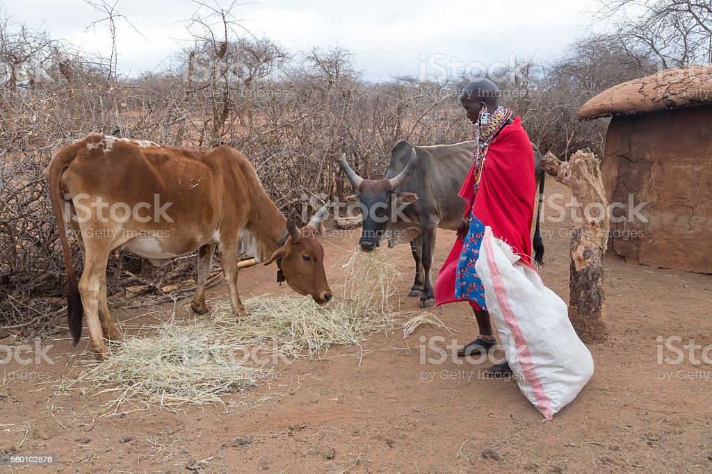 Maasai woman feeding Zebu cow in village, Kenya, East Africa. stock photo