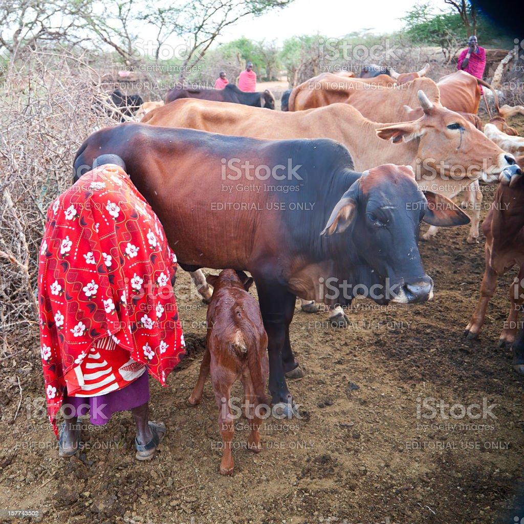 Maasai woman milking cow with calf watching stock photo