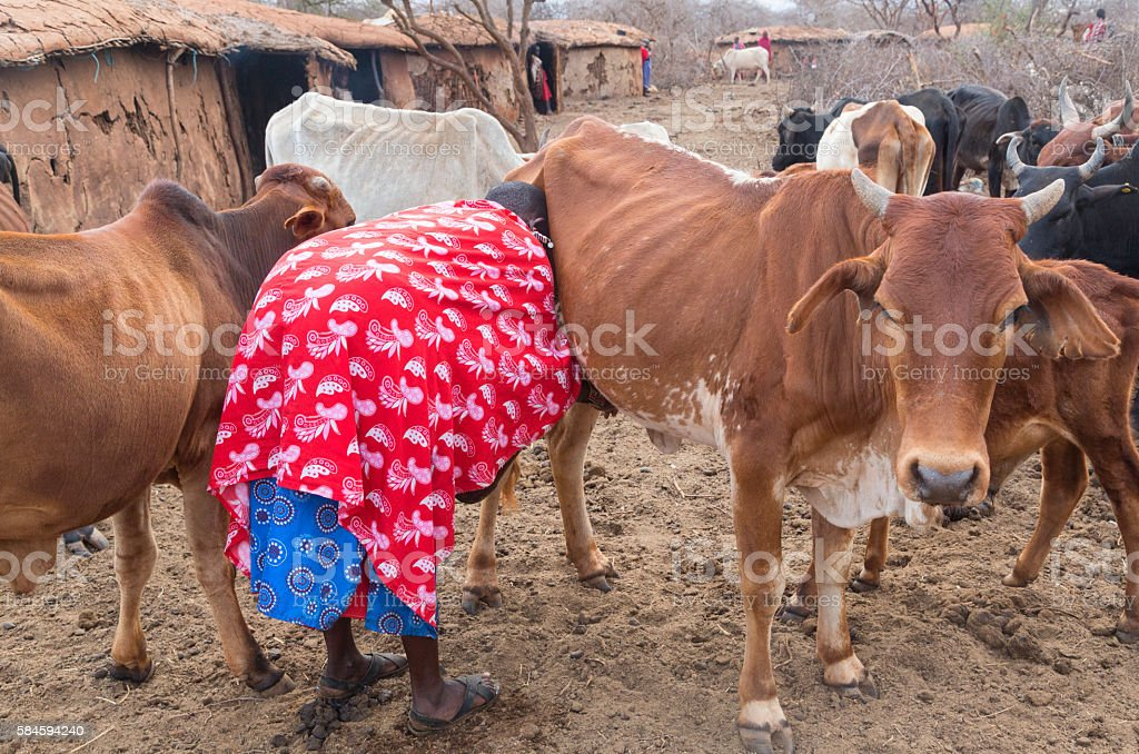 Maasai woman milking very thin cow. Village, Kenya stock photo