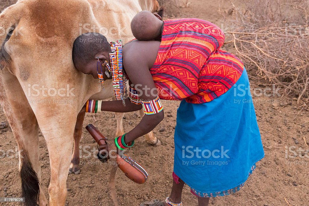 Maasai woman with baby on back milking cow into kalebas. stock photo