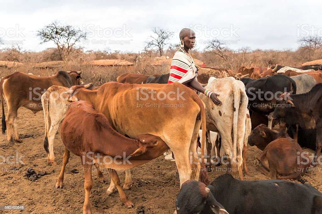 Maasai woman with cattle in village, Kenya, East Africa. stock photo