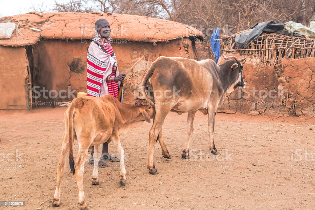 Maasai woman with cow and calf in village, Kenya, East stock photo