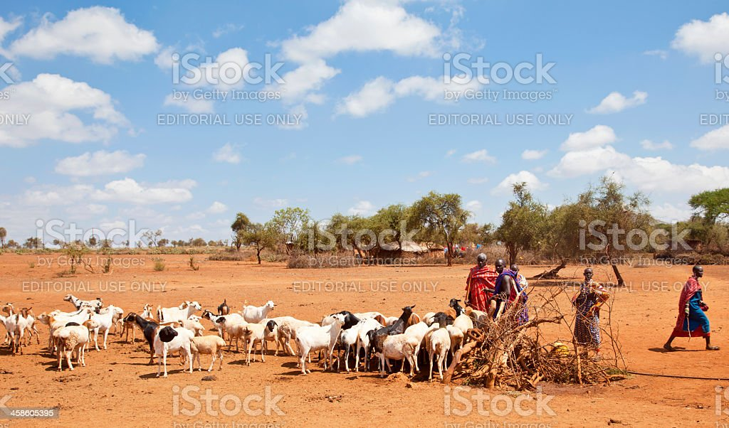 Maasaj with traditional dress herding goats in dry African landscape. stock photo