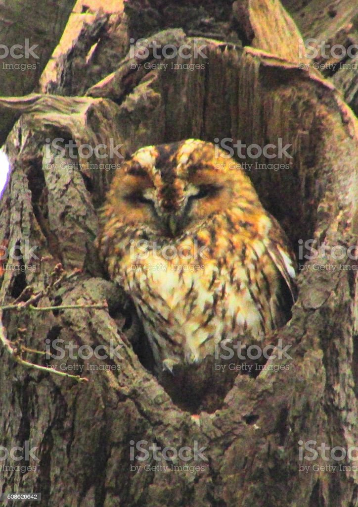 mabel the tawny owl in her snug close up stock photo
