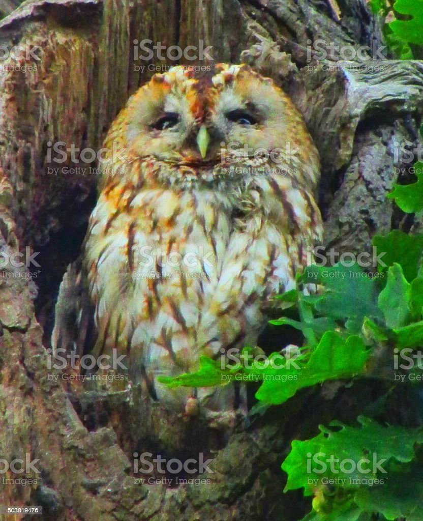 mabel the tawny owl in her snug stock photo