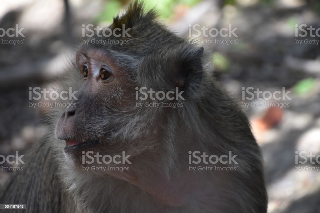 Macaca fascicularis, Unfortunately this is the preferred animal for experiments stock photo