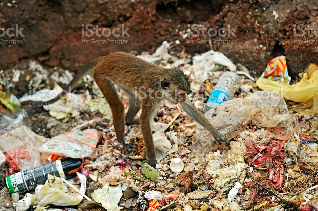 Macaca stock photo