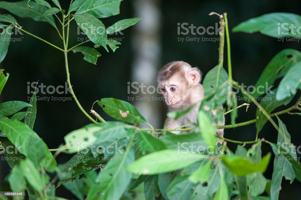 Macaco monkey baby in the natural forest, animal in nature stock photo