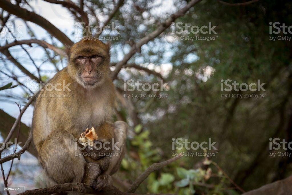 Macaco stock photo