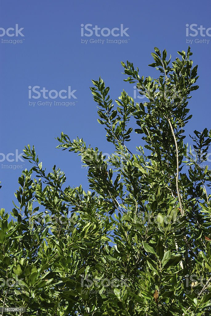 Macadamia foliage against a blue sky stock photo