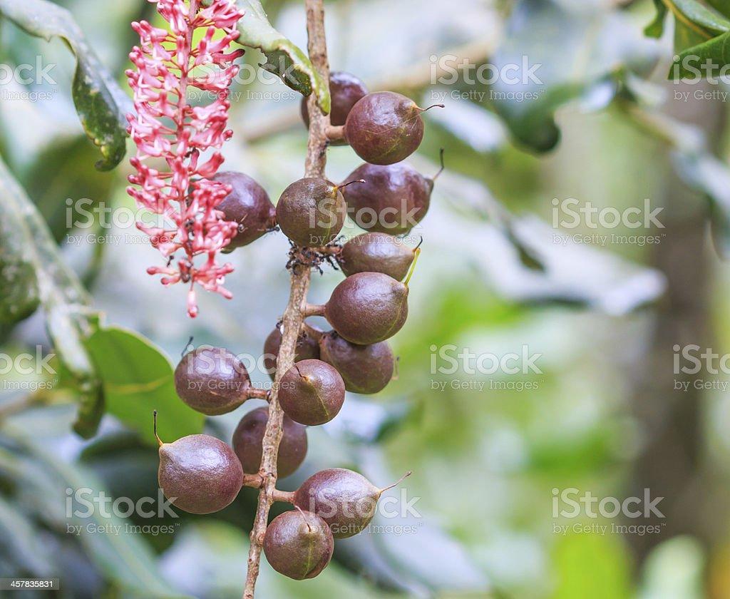 macadamia nuts hanging on tree stock photo