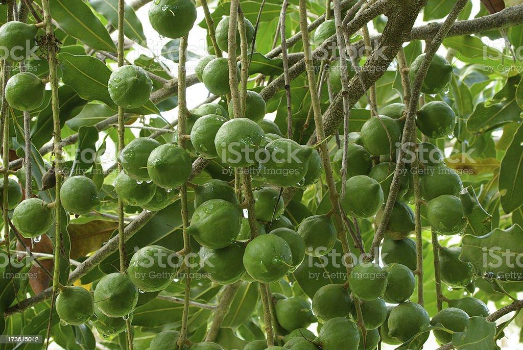 Macadamia Nuts on the Tree stock photo