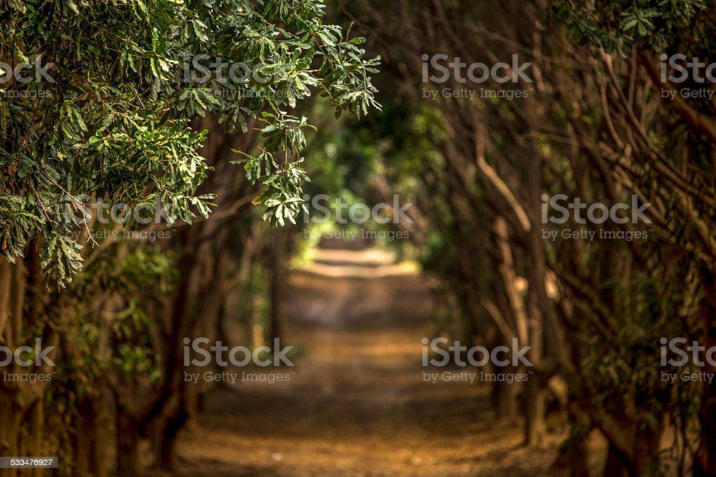 Macadamia Orchard stock photo