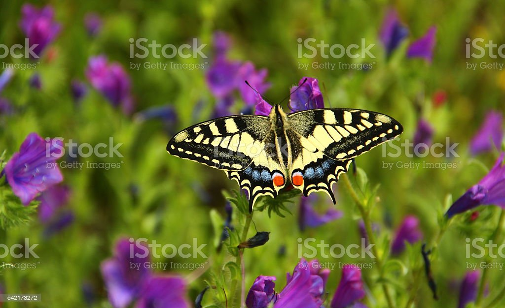 Macaon butterfly in the countryside near Blera, Italy stock photo