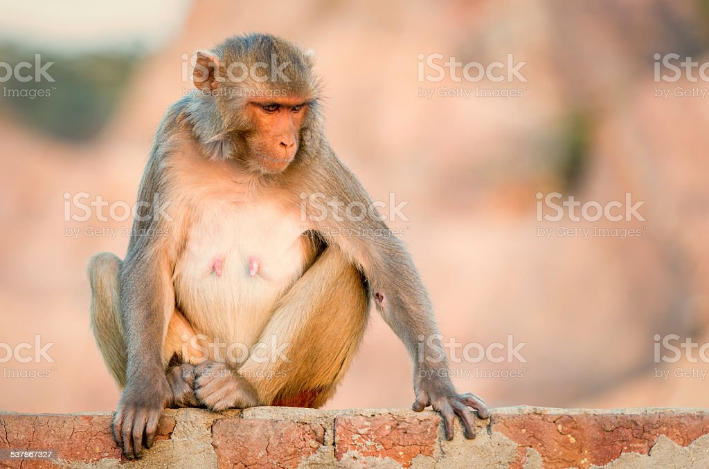 Macaque at the Monkey Temple, Jaipur. stock photo