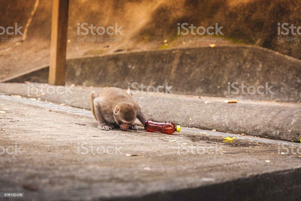 Macaque Drinks from a Spilled Soda Bottle royalty-free stock photo