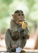 Macaque enjoying an ice cream on a hot Indian day.
