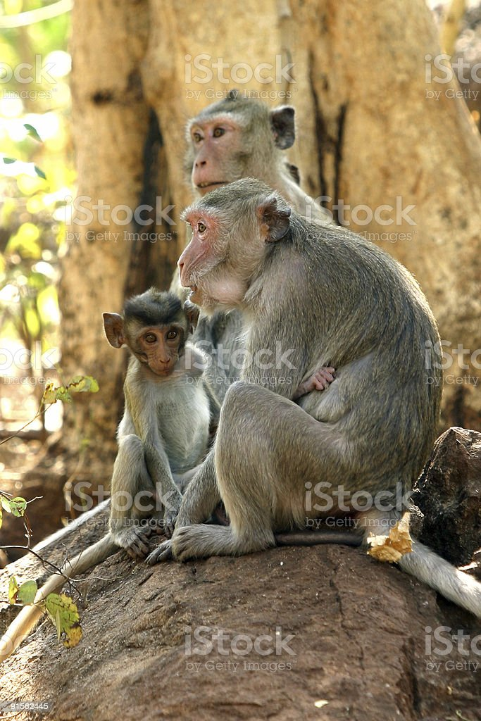 Macaque family royalty-free stock photo