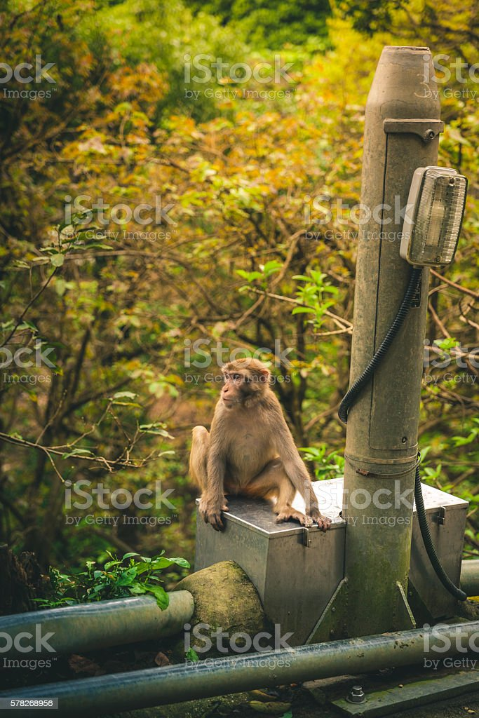 Macaque Hanging out on the side of the road royalty-free stock photo