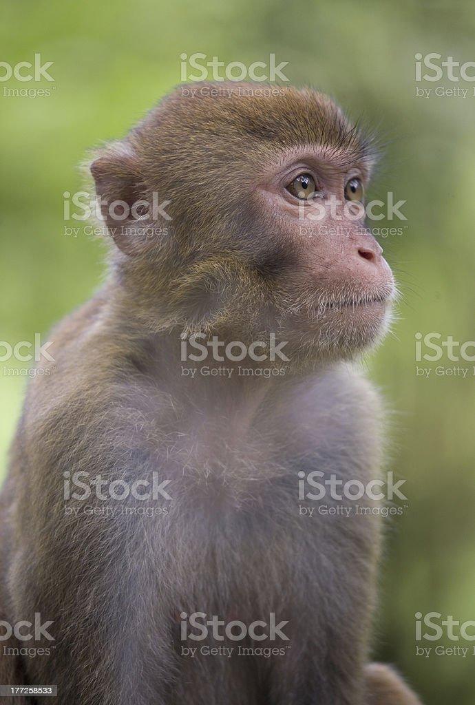 macaque in semi-profile stock photo
