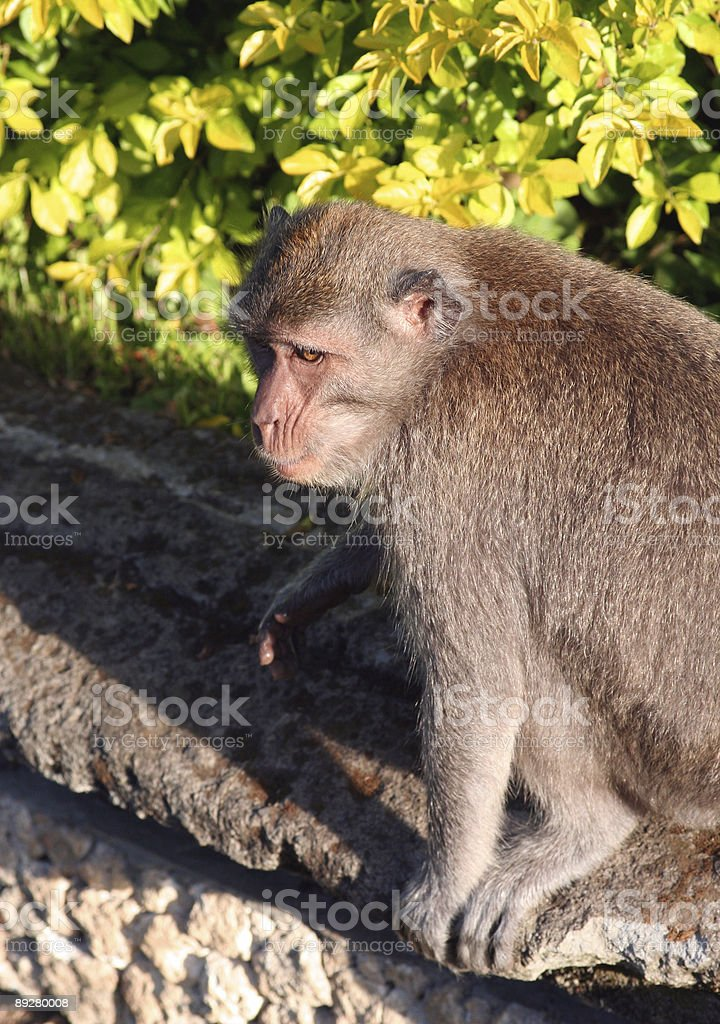 Macaque in the monkey forest near Ubud, Bali royalty-free stock photo