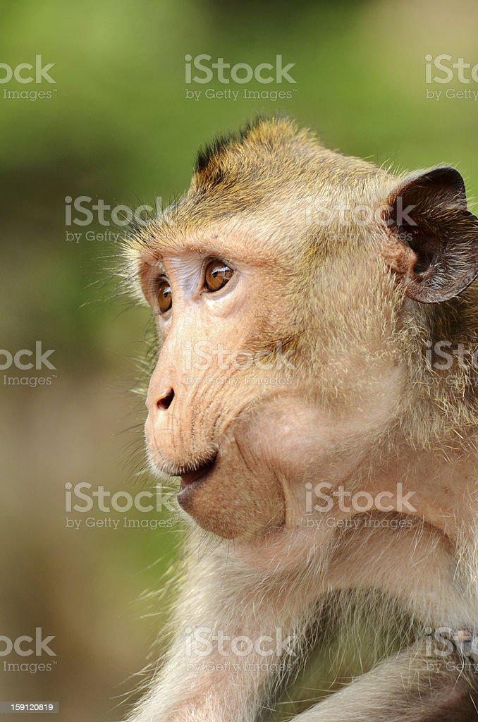 Macaque mongkey closeup royalty-free stock photo