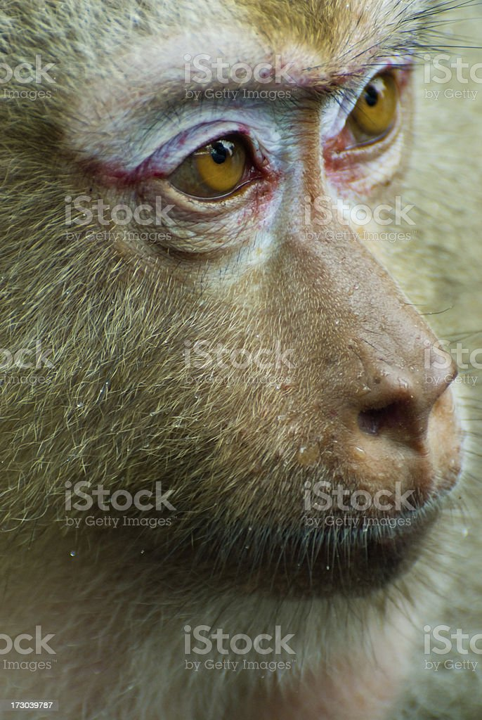 Macaque Monkey Close-Up royalty-free stock photo