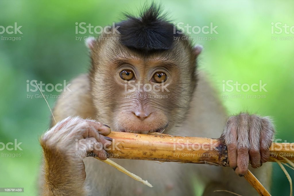 Macaque monkey eating a piece of vegetation stock photo