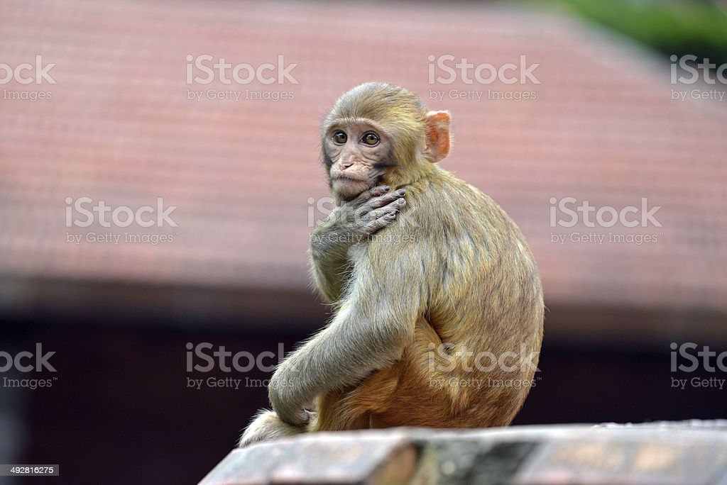 Macaque monkey in Swayambhunath stock photo
