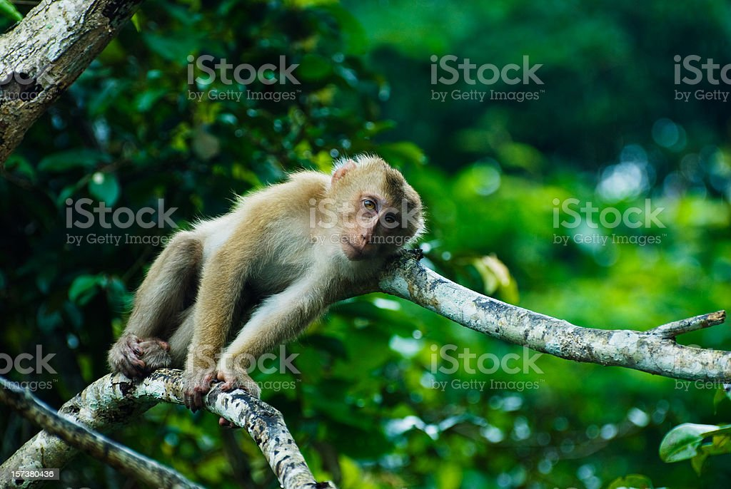 Macaque Monkey in Thailand royalty-free stock photo