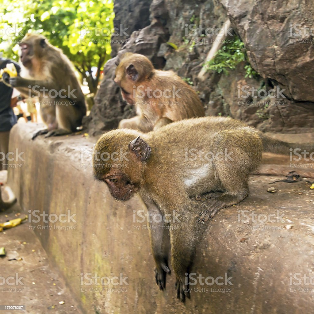 Macaque monkey in widelife stock photo