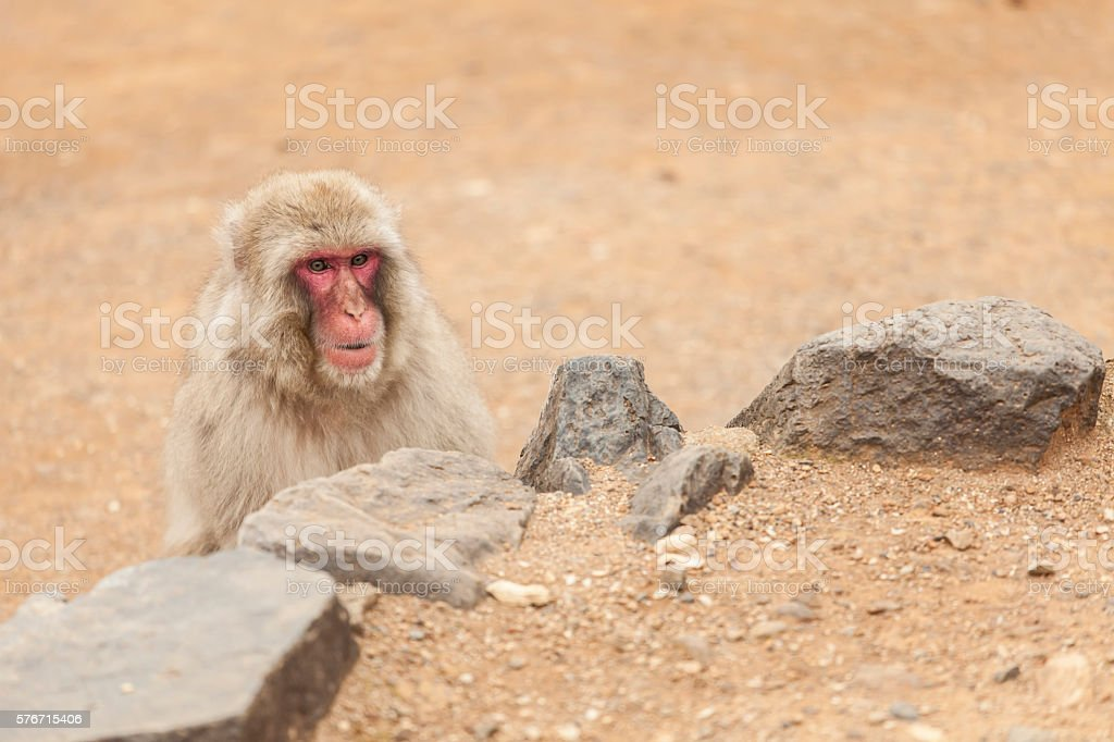 Macaque monkey showing behind rocks stock photo