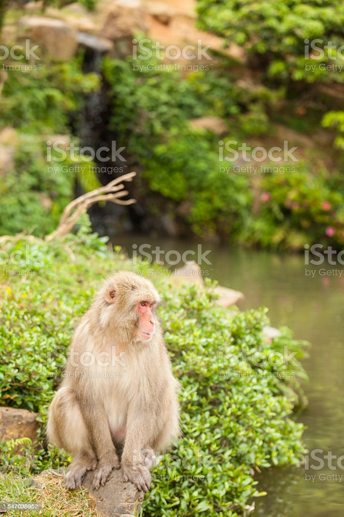 Macaque monkey sitting and looking the water stock photo