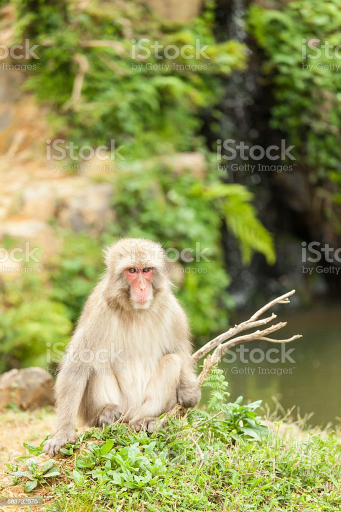 Macaque monkey sitting on grass stock photo